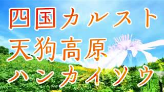 四国カルスト天狗高原のハンカイソウ