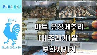 마트 메추리(메추라기)알 부화 방법 ~ 팁~ 부화 후기…
