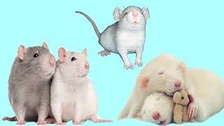 Характеры и повадки декоративных крыс. Как распознать?