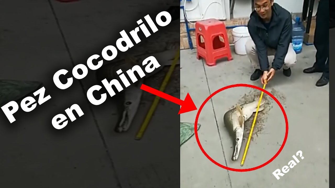 Híbrido Pez Cocodrilo en China | La Verdad