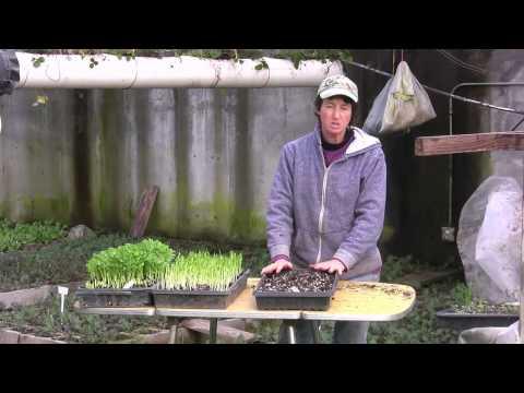 Abundance Garden How To Sprout Peas