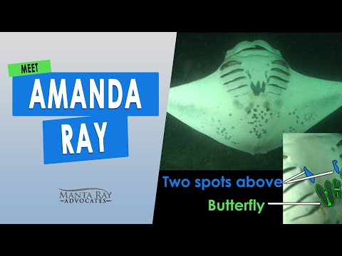 meet-amanda-ray,-this-female-is-a-gentle-giant-manta-ray