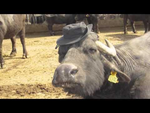 Torre Lupara visita nel mondo della bufala mediterranea italiana