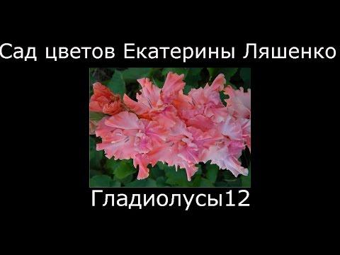 описанием сорта фото с гладиолусы и