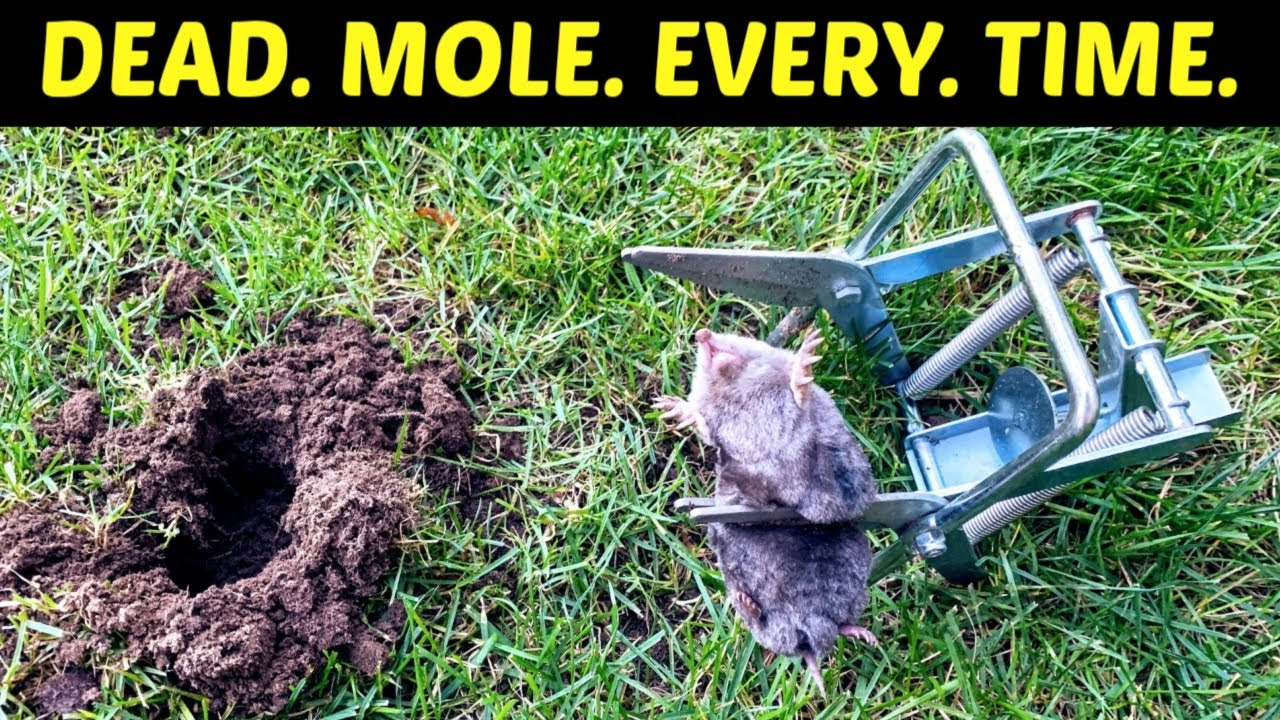 How To Kill Moles Effective Lethal Results Use A Scissor Trap