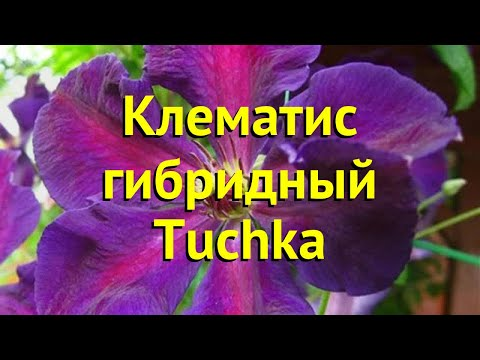Клематис гибридный Тучка. Краткий обзор, описание характеристик, где купить саженцы clematis Tuchka