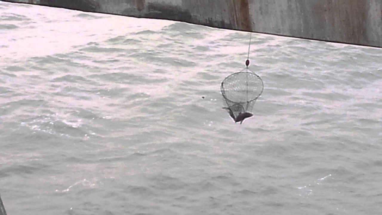 Pacifica pier sharks youtube for Pacifica pier fishing report