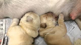 Two Pups Nursing