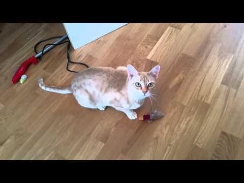 Australian Mist Cat, Rumtumtugger Freckles - Talking / Meow