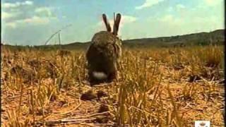 La mixomatosis del conejo de monte