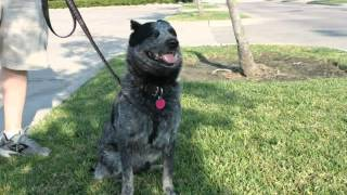 Jake - Texas Cattle Dog Rescue