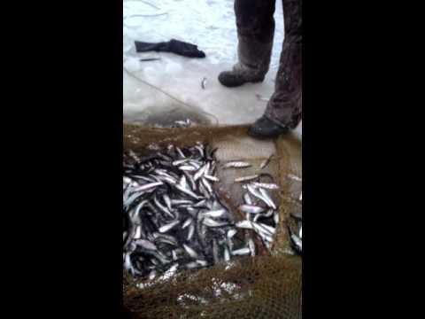видео: вот так ловится беломорская селёдка.