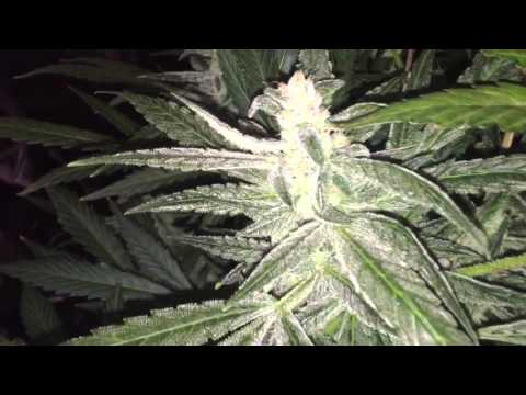 bubbleponics cash crop auto by cream of the crop day 70!