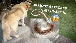 This MEAN CENTIPEDE was RIGHT UNDER my DOG !!! ~ Hopefully he didn't get bitten.