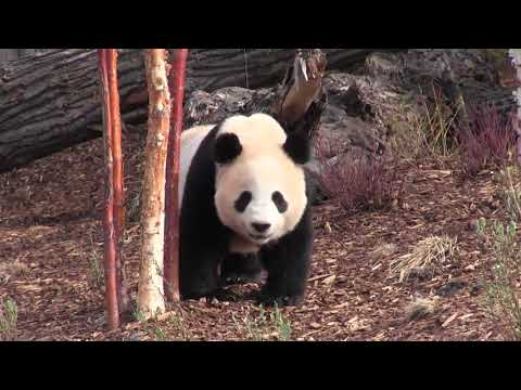 """Calgary Mayor Naheed Nenshi says the loan of four giant pandas who made their debut at the Calgary Zoo on Monday is a """"feel-good"""" story for the city. The zoo's CEO says female Er Shun could potentially be impregnated next year. (The Canadian Press)"""