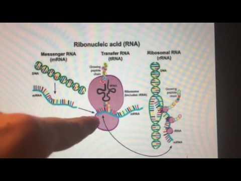 mRNA, tRNA and rRNA