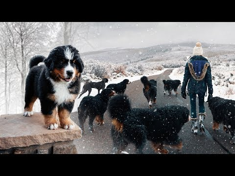 WALKING OUR 10 BERNESE MOUNTAINS DOGS IN THE SNOW!!! Ep. 3 || vlog011