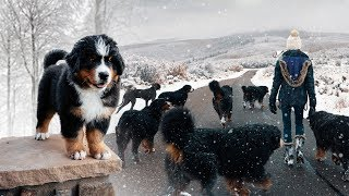 WALKING OUR 10 BERNESE MOUNTAINS DOGS IN THE SNOW!!! Ep. 3    vlog011