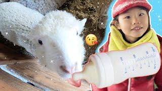 도전! 양에게 먹이주기 | 대관령 양떼목장 어린이 체험 LimeTube