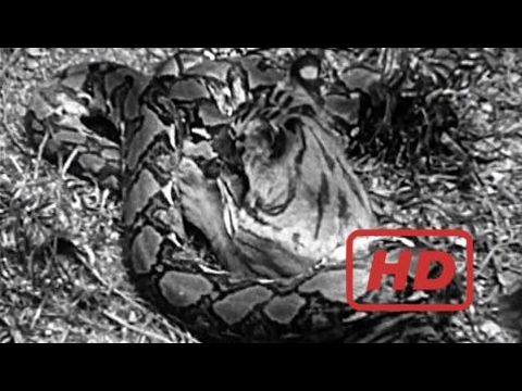 Harimau vs Ular Piton (Python) | Pertarungan Binatang Buas | Video Perkelahian Hewan Liar