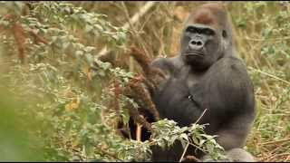 Cross River Gorilla video | gorillas in the wild documentary  | Cameroon Gorillaz