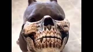 Питбуль в маске челюсти