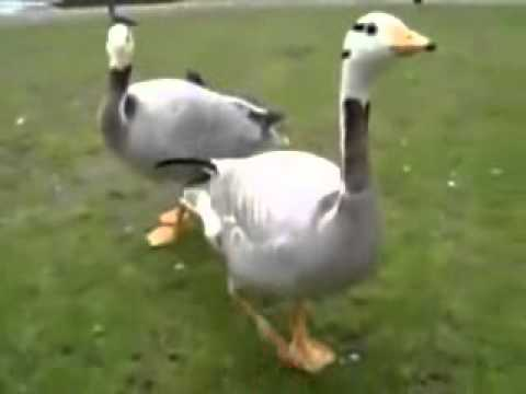 Goose Excited Over Bread Youtube
