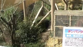 チンパンジーが動物園で大喧嘩!! その理由は、、、子供を守っていたの...