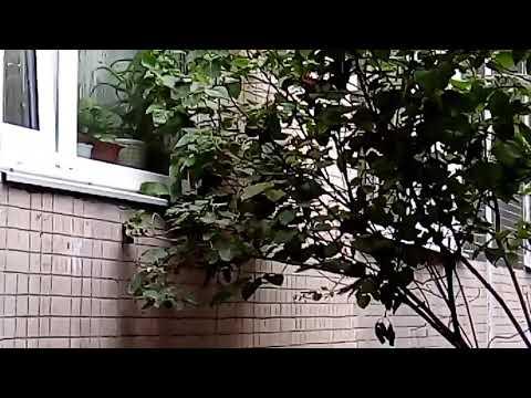 крысы лезут в окна квартир. докатились !!!Москва Ивановское ул. Молостовых