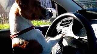 Собака едет на машине