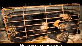 Moon Bear rescue from bile bear farming in China