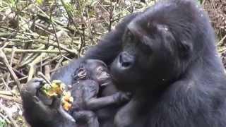 Gorilles de Kahuzi-Biéga (RD du Congo - Août 2014)