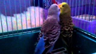 Попугайчики занимаются любовью
