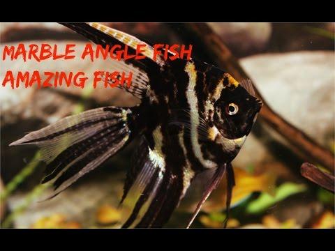 Marble Angel Fish: Amazing Fish