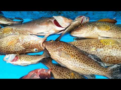 Catch Some Of Goliath Grouper Fish //trigger Fish Catching At Offshore