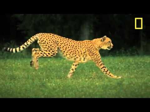 Cheetahs on the Edge.