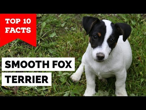 Smooth Fox Terrier - Top 10 Facts (The Gentleman Terrier)