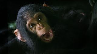 The Doctor Who Can Communicate With Chimps   Game Changers   BBC Earth