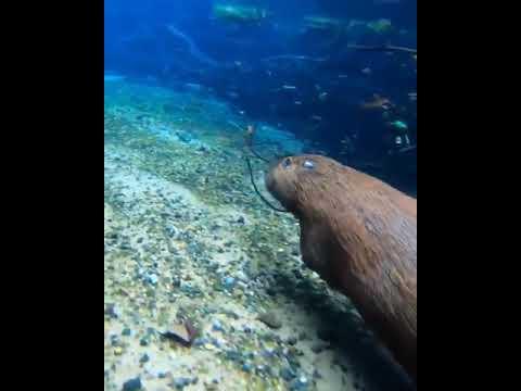 capybaras are so agile underwater