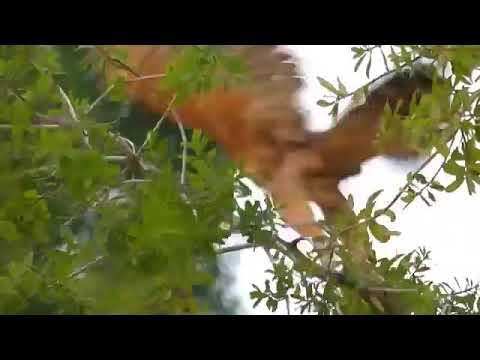 Курица против орёл ҷанги муғр бо уқоб
