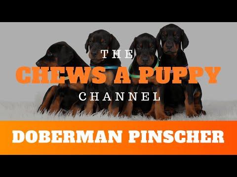 Doberman Pinscher Puppies For Sale | Chews A Puppy | Orlando FL