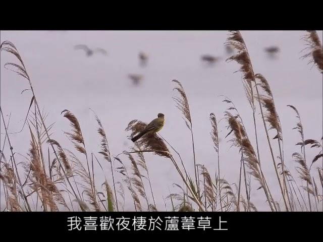 茄萣濕地樹上淘寶網 東方黃鶺鴒 Taobao on top of tree in Qieding Wetlands - Motacilla tschutschensis taivana