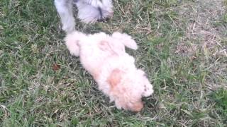 Maltipoo Puppy Max And Miniature Schnauzer Dory