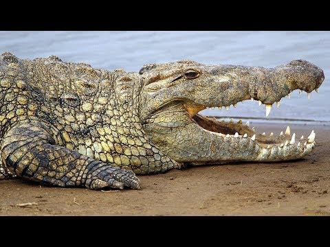 Вопрос: Кто победит в схватке лев или нильский крокодил и почему?