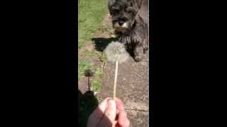 Mini Schnauzer Reacts To Dandelion