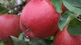 Яблоки оптом от производителя(, 2016-12-11T18:12:07.000Z)