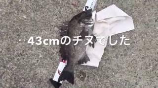 5月のチヌ、いつになく釣れてますね。 サビキも良い感じで釣れてます。
