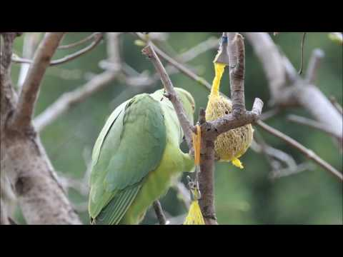 Des perruches vertes à collier en liberté à Issy Les Moulineaux (92)