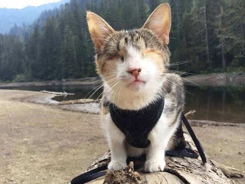 Greatest Rescued Blind Cat Who Loves Hiking His Name Is Honey Bee - Garfi is officially the worlds angriest cat