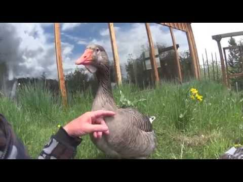 Friendly Goose: Scoop, 26 Years Old-Best Buddy